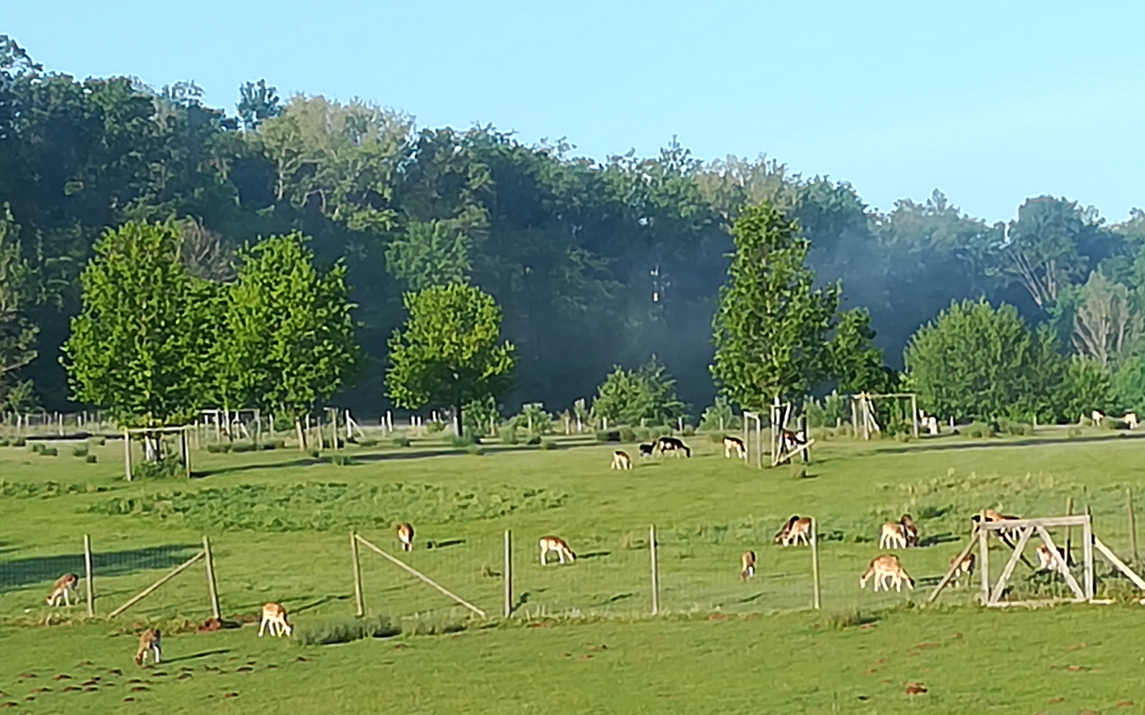 Damwild, Buchenhof