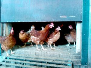 Hühner, Buchenhof