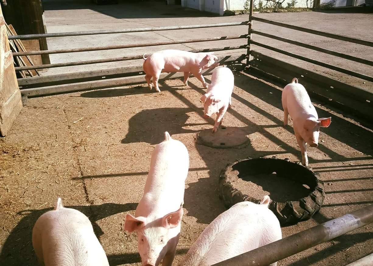 Schweine, Buchenhof